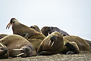 Walroßgruppe